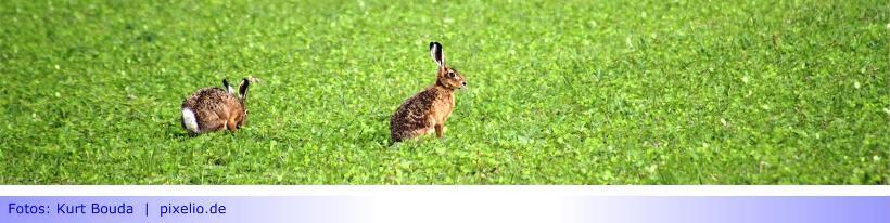 Hasenpest in Mönchengladbach festgestellt • Fachbereich Verbraucherschutz und Tiergesundheit bittet um Vorsicht in Sittard und Schriefers