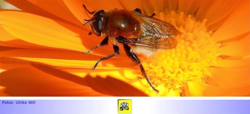 Biodiversität im Kleingarten • Teil VI: Bienentanz statt Insektensterben • Über Bienenarten und Nisthilfen