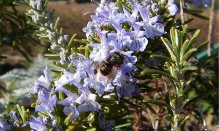 Biodiversität im Kleingarten • Teil II: Tun wir was für Bienen!