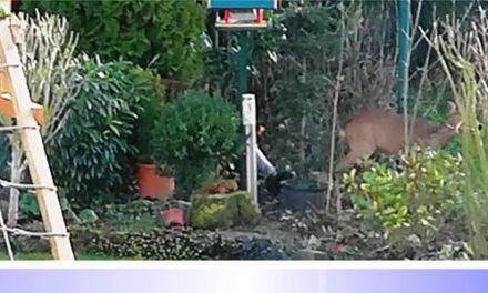 Verirrtes Reh in Hardterbroicher Gärten • Polizei und Jagdaufseher im Einsatz